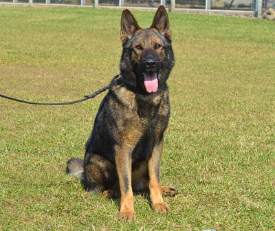 Trained Police Dogs For Sale Florida Shepherds Malinois