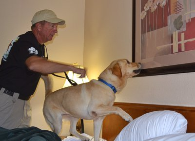 Bed bug dog training in a hotel room.