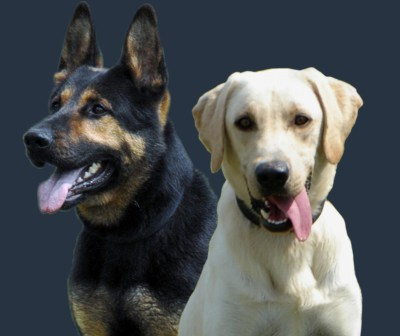 Excellent quality police dogs for sale in Florida