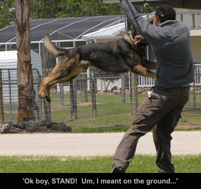 K9 'stands'. Police dog training is never dull!